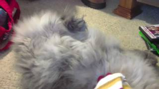 funny sleeping cat acting like a dog! Thumbnail
