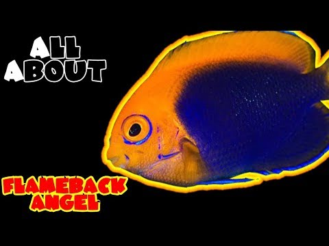 All About The Flameback Angelfish Or African Pygmy Or Orangeback Angel