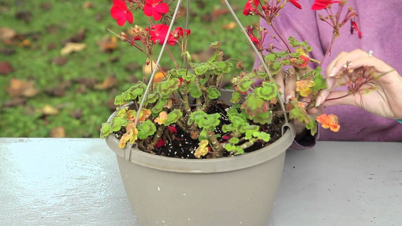 how to take geranium cuttings youtube