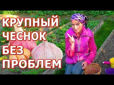 Вопрос: Каковы правила выращивания чеснока, чтобы он вырос крупным?