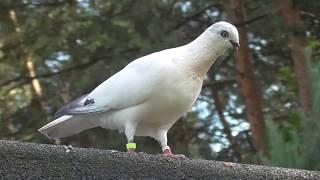 Moje Gołębie Węgierskie