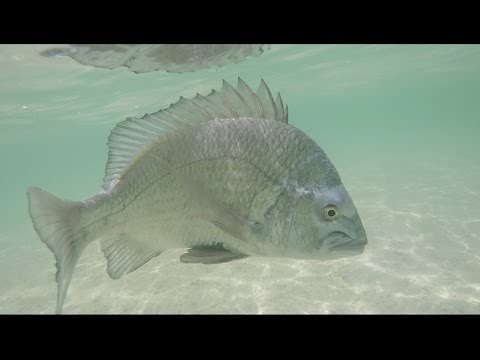 Fly Fishing UAE, Dubai - Fly Fishing Bream