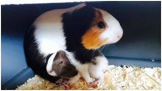 What To Do If Your Guinea Pig Is Pregnant