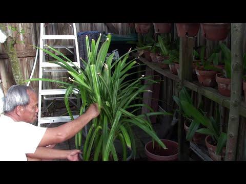 Trồng trọt ở Mỹ 6: Sang Chậu Cây Dứa Thơm (Repotting Pandan Plants)