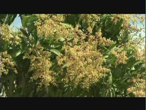 Adelanto y retraso de la floración en mango - YouTube