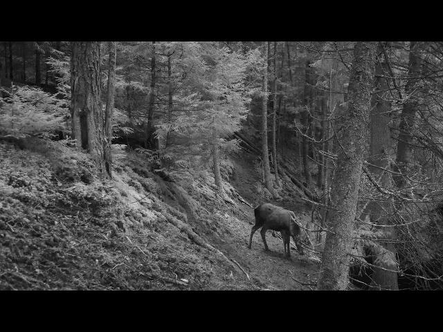 tauriųjų elnių varpą ir uodegą)