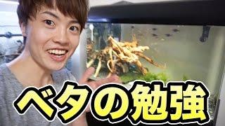 ベタ男のために熱帯魚について勉強!可愛すぎる\(^o^)/ thumbnail