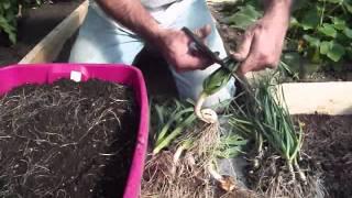 Organic Pest Control  - Companion Planting With Garlic