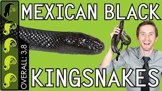 Mexican Black Kingsnake, The Best Pet Snake?