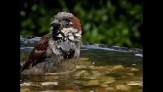 Garden Birds Bathing In Slow-motion