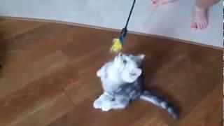 Британский котенок черный мрамор на серебре Бакс!