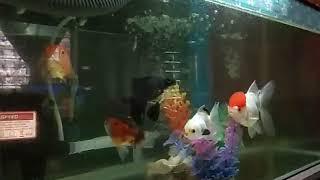 Giant Oranda Goldfish Tank