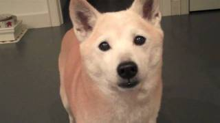 Shiba Inu Sachi is talking. She is telling me to hurry up to get re...