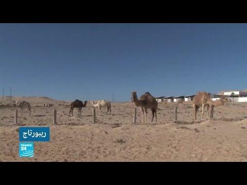 الصحراء الغربية... صناعة الجبن من حليب الإبل  - 12:59-2021 / 2 / 27