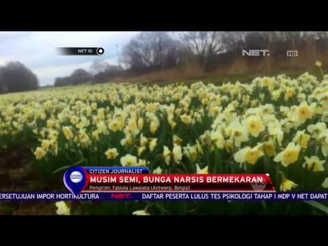 Mekarnya Bunga Narsis Tandai Masuknya Musim Semi Di Belgia Net10