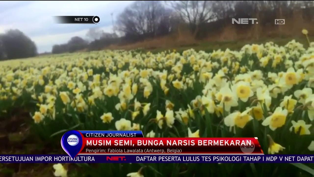 Mekarnya Bunga Narsis Tandai Masuknya Musim Semi Di Belgia Net10 Impor