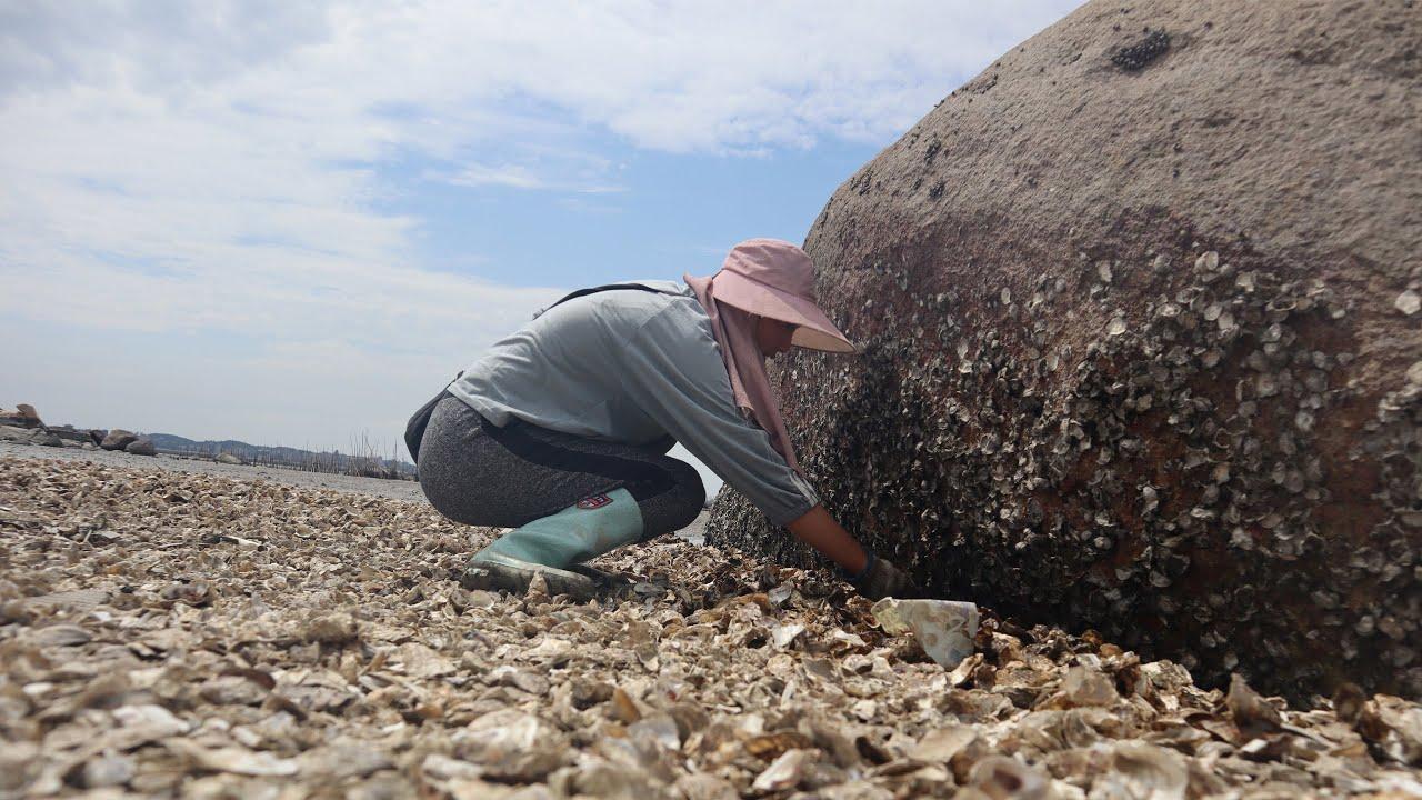 海蛎区海蛎散落一片,渔妹捡得停不下来,还发现偷吃的大猛货