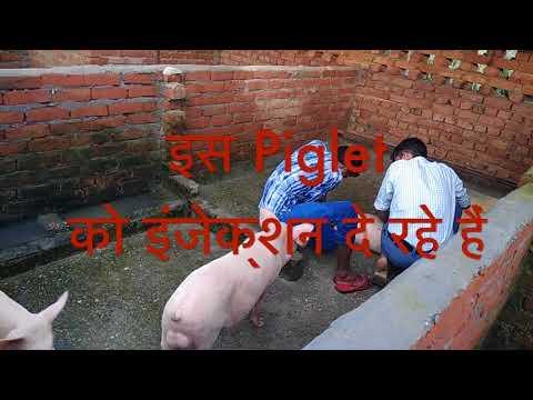 Pig Farm in Meerut near Delhi India, +919997527528