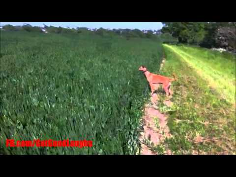 The Sunshine Makes a Dog Happy And Jumping All Around Farming Field | Funny VIDEO! :-D| GGL