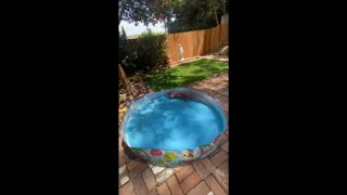 Cat Got Intrigued by a Tegu Swimming in Kiddie Pool
