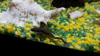 Жизнь карликовой лягушки в аквариуме