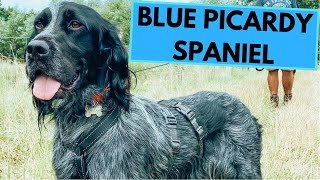 Blue Picardy Spaniel  TOP 10 Interesting Facts