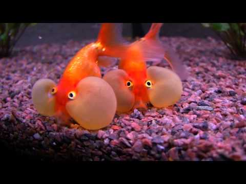 Bubble Eye - Goldfish