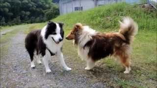 今日のお散歩の途中、シェルティの男の子と出会いましたが'犬見知り'を...