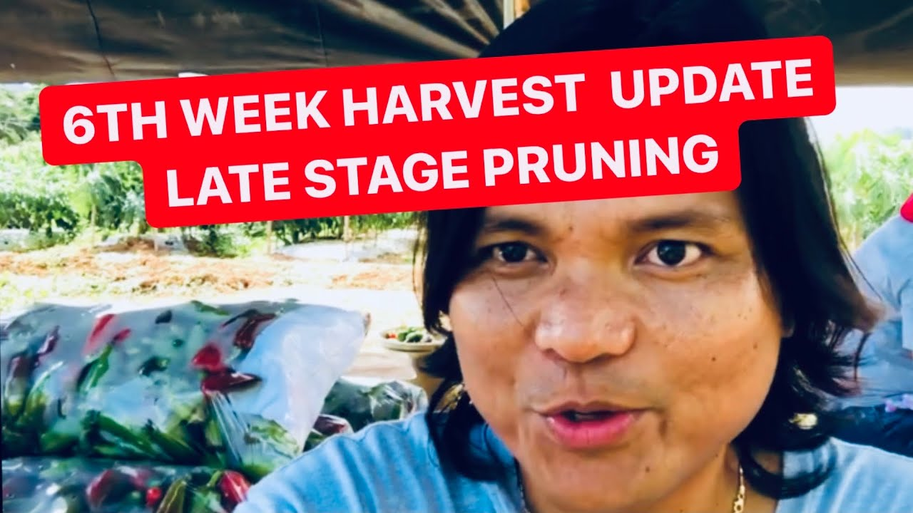 Sweet Pepper Batch1 6th Week Harvest & Pepper Farm Update & Why we do Late Stage Pruning.