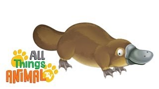 PLATYPUS: Animals for children. Kids videos. Kindergarten | Preschool learning