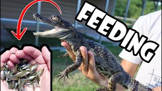 hundreds-of-minnows-feed-my-pet-baby-gator