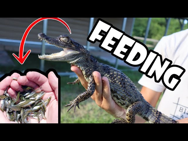 HUNDREDS OF MINNOWS FEED MY PET BABY GATOR!!!!