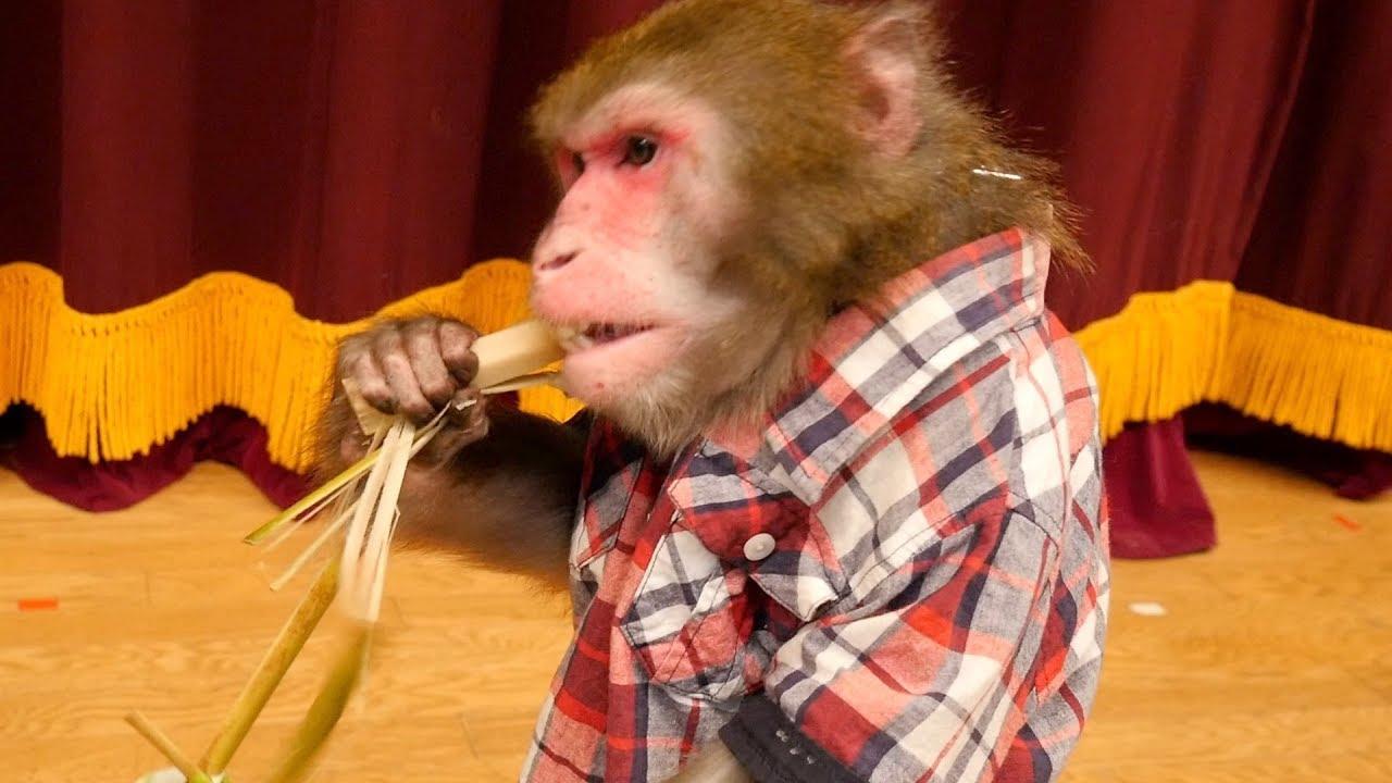 【覚醒】お猿のカイくんに「サトウキビ」あげたら野獣化し ...