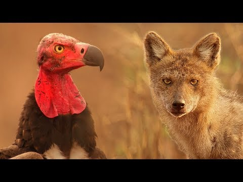 Vultures Vs Crow Vs Jackal - Lands of the Monsoon - BBC