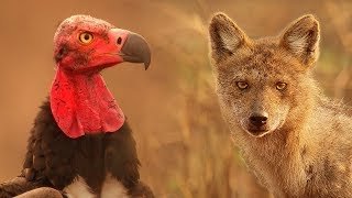 Vultures Vs Crow Vs Jackal - Lands of the Monsoon - BBC