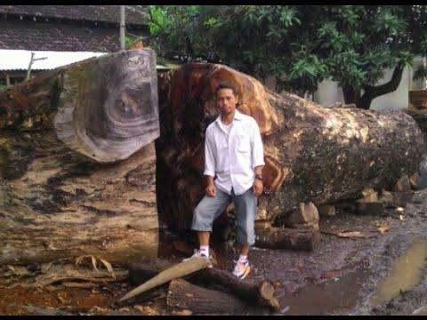 Suar Wood Raw Material And Trees Acacia Wood Ran Tree
