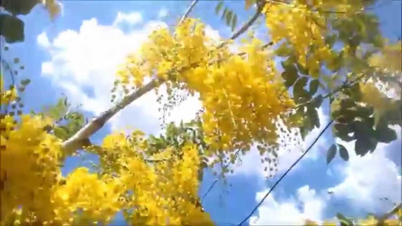 chuva de ouro youtube