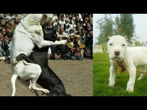 ||Fighter|| bully dog pits in pakistan.