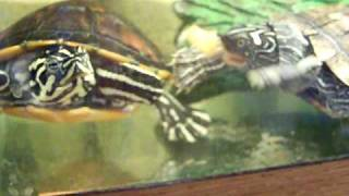 Map & Yellow Bellied Slider Turtles Eating Baby Carrots