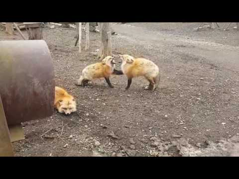 Screaming Foxes