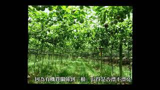 台肥生技5號有機質肥料優點有哪些? 埔里百香果肥培示範