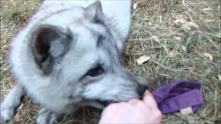 Playing with my pet arctic fox
