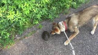 "20160618Shikoku dog (protected Japanese dog species) ""まるうMaruu"" ..."