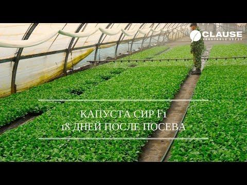 Как вырастить в теплице пекинскую капусту