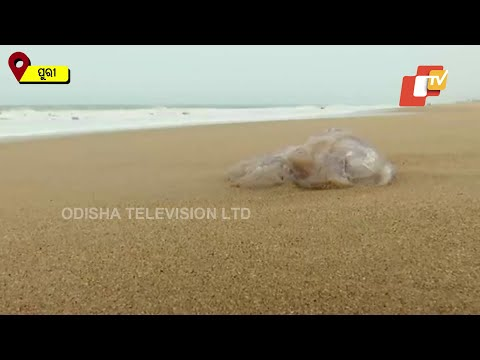Hundreds Of Dead Jellyfish Wash Ashore At Puri Beach In Odisha, Know What Experts Say