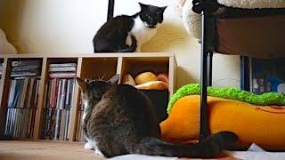 猫の一喝 - Cat Hiss -