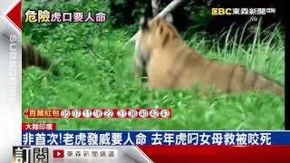 非首次 老虎發威要人命 去年虎叼女母救被咬死