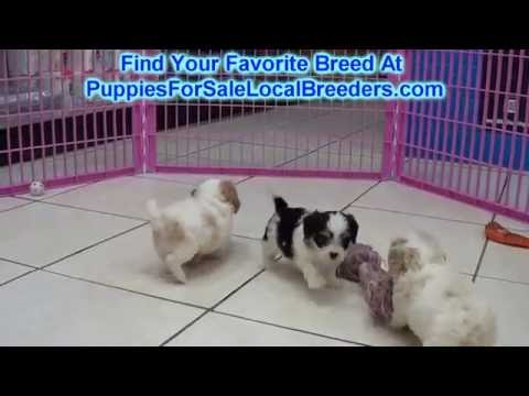 CavaChon, Puppies For Sale, In Mobile, County, Alabama, AL, 19Breeders, Tuscaloosa, Decatur
