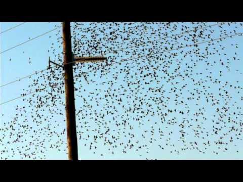 Migratory birds flocking like a school of fish #1