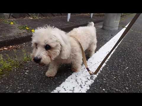 最近の散歩🐶Dandie Dinmont Terrier